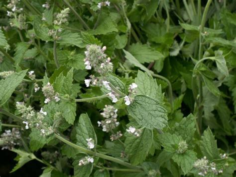 catnip and mosquitoes garden myth citronella geranium vs 5 easy to grow mosquito repelling plants that work auntie