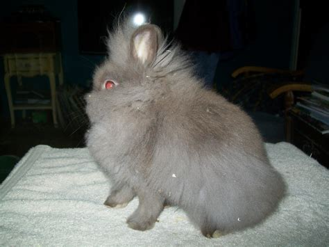 lionhead rabbit colors rabbit colors touch of farm weeone s rabbitry