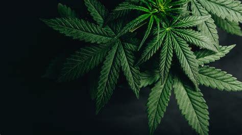 weeds  high level   marijuanas effects