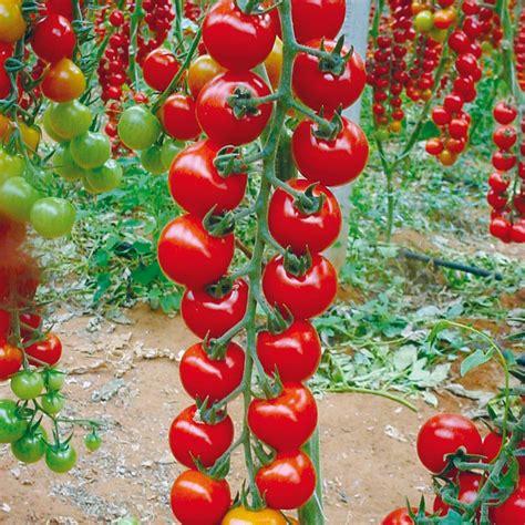 Petlt Tomatoandpetit Tomato Nude