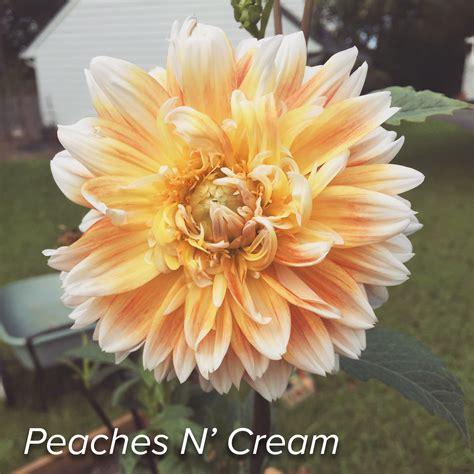 Dahlia Planting & Care  Strange's Florists, Greenhouses