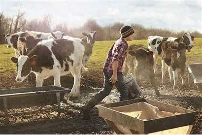 Farm Farmer Dairy Cows Feeding Boy Field