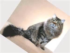 cat rescues siberian cat rescue