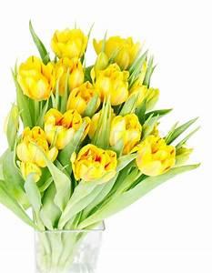 Fresh yellow tulip flowers on white Stock Photo Colourbox