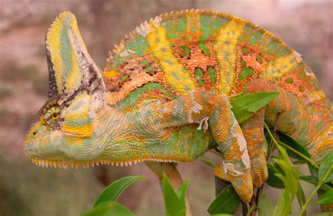 veiled chameleon changing colors study shows chameleons fighting prowess to color