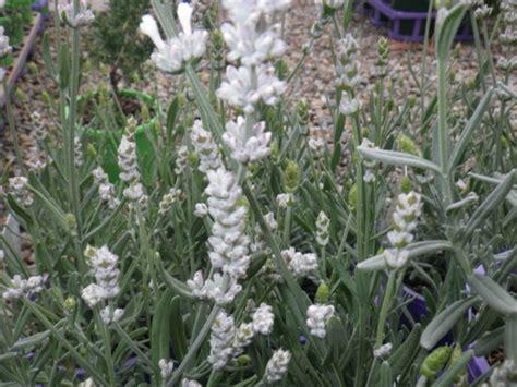white lavender plants lavender white landsdale plants