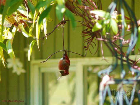 image gallery sleeping hummingbird