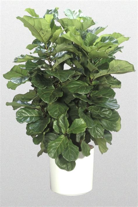 ficus lyrata high light plants