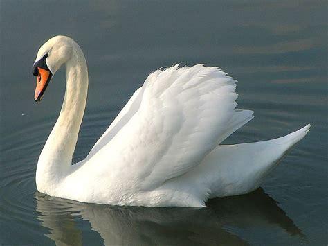Swan HD Pictures - We Need Fun