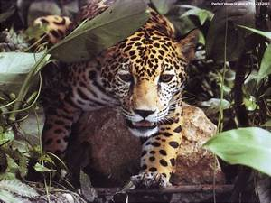 Widows to the Universe Image:/earth/images/jaguar.gif