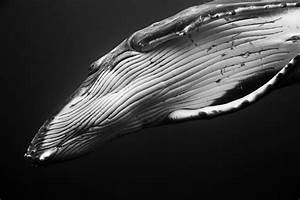 Underwater Photography Series of Intimate Humpback Whale ...