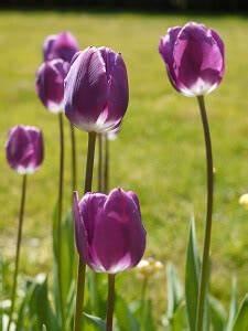 Tulpenzwiebeln Im Frühjahr Pflanzen : blumenzwiebeln jetzt im herbst pflanzen garten garten tipps f r hobbyg rtner ~ A.2002-acura-tl-radio.info Haus und Dekorationen