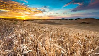 Wheat Field Wallpapers Cave 4k Spikes Sky