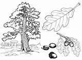 Oak Tree Coloring sketch template