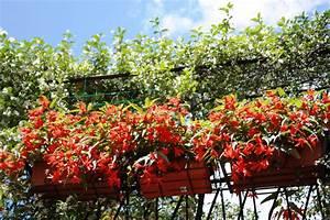 Jasmin Pflanze Pflege : jasmin auf dem balkon pflanzen und pflegen ~ Markanthonyermac.com Haus und Dekorationen