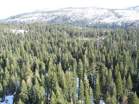 sierra nevada tree artificial warmer climate means greener mountains less water for californians of california