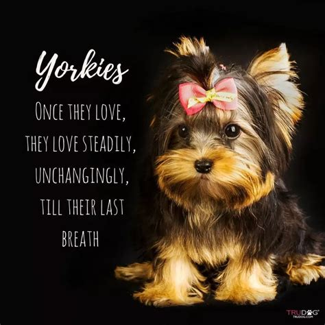 Pin by Tracy Solomon on Yorkie Yorkie!! in 2020 | Yorkie ...