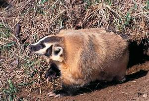 American Badger   MDC Discover Nature