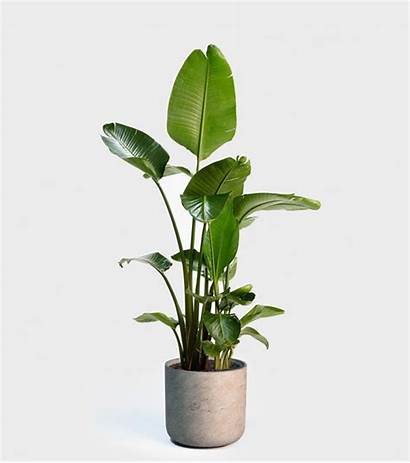 Plants Indoor Paradise Bird Plant Potted Low
