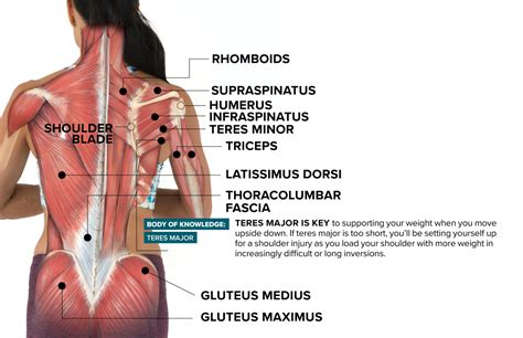 Muscles of the forearm (posterior view). The Muscle That Can Make or Break Healthy Shoulders in Inversions Blog