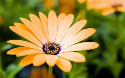 Daisy Gerber Gerbera Flowers Wallpapertag