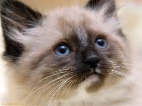 simese cats siamese cats cats