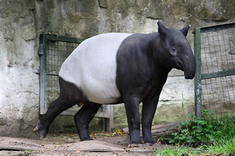 Tapirus Indicus In Edinburgh Zoo.jpg