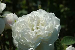 Weihrauch Pflanze Winterhart : mme hardy rosa damascena ab 9 90 ~ Lizthompson.info Haus und Dekorationen