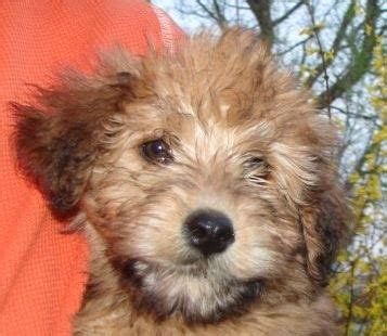 Whoodle Dog Breed Information And Pictures Wheaten Terrier Poodle Hybrid Dogs
