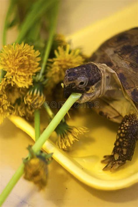 tartaruga terrestre alimentazione tartaruga fotografia stock immagine di mare nave