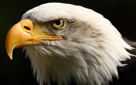 fabulous  amazing eagle wallpapers  hd