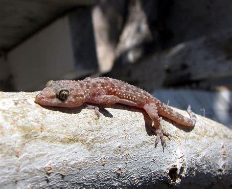house gecko mediterranean house gecko wikipedia