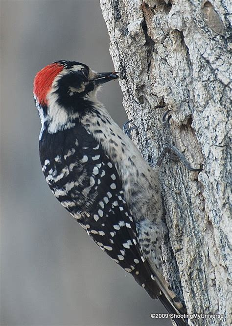 top 28 california woodpeckers shooting my universe