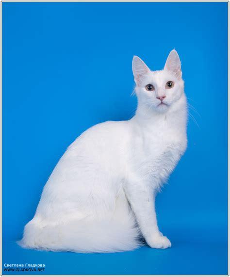 cat fanciers association cfa cat fanciers association showing turkish angora