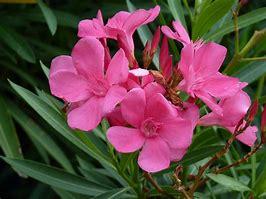 Image result for oleander