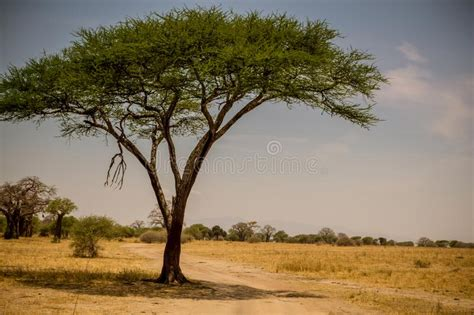 Lonely Acacia Tree In Serengeti In Black And White Stock