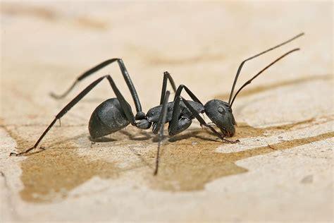 carpenter ants carpenter ant wikipedia