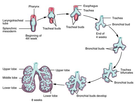 22 7 embryonic development of the respiratory system
