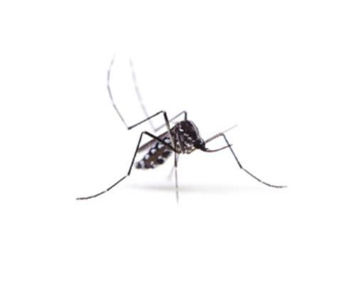 esp 232 ces de moustiques france rentokil d 233 sinsectisation