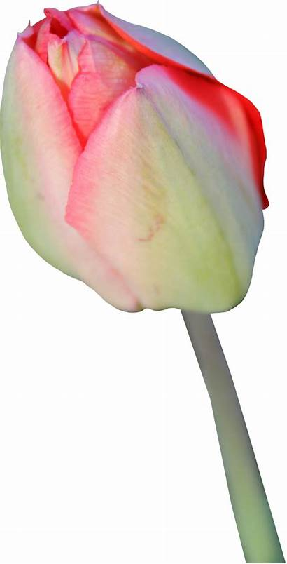 Tulip Transparent Clipart Tulips Clip Flower Bud