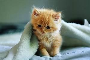 Fluffy Orange Kitten | www.pixshark.com - Images Galleries ...
