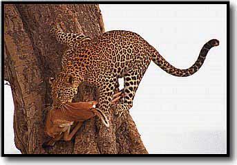 mamiferos carnivoros de africa