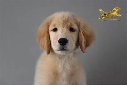 Golden Retriever Cachorros Mexico Goldenretriever Mx