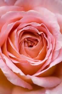 Amelia Pink Roses