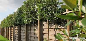 Arbre A Feuillage Persistant : evergreen products tree nursery espaliers ~ Dode.kayakingforconservation.com Idées de Décoration