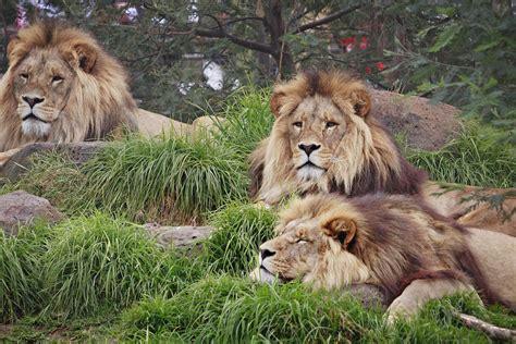 lion wallpapers hd funny animal