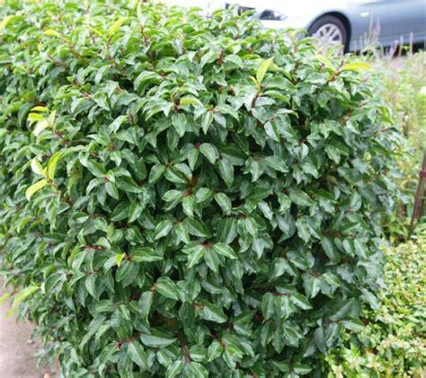 Welche Pflanze Als Hecke by Thuja Holz Giftig Tipps F R Den Heckenschnitt Im Februar