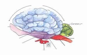 Label The Brain Anatomy Diagram Answers