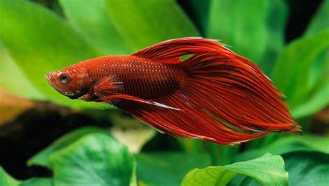 how do bettas live how long do betta fish live some useful information