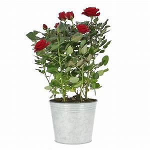 Livraison Fleurs à Domicile : livraison rosier plante fleurie foliflora ~ Dailycaller-alerts.com Idées de Décoration